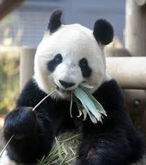 パンダのレンタル料は子パンダシャンシャンの分も中国に払う?