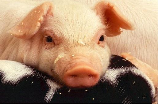 豚コレラ肉食べたらどうなる?人間への影響と発生場所感染経路調査!